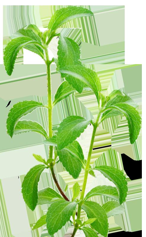 stevia-plant-facts1-b